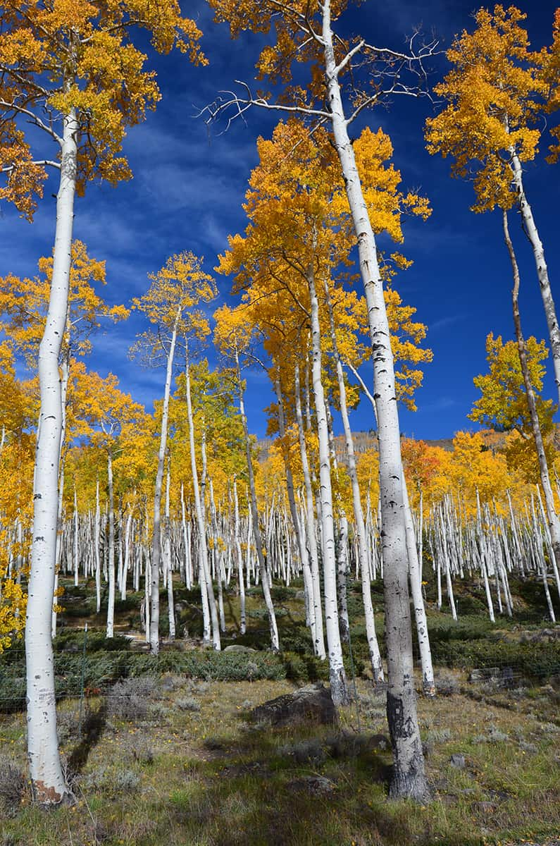 The quaking aspen colony called Pando in the US